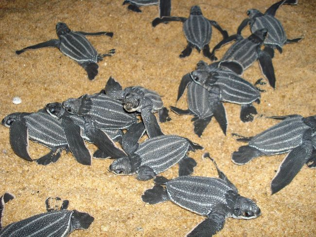 Male kornjače podleći brojnih primorskih predatora. Samo 4 od 10 bugova može doći do vode. Tamo će biti relativno siguran.