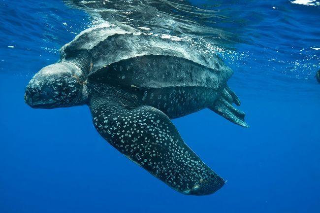 Dermochelys kornjača dobro pliva u vodi. To je najbrži od svih kornjača i može dostići brzinu i do 35 km na sat, majstorski manevrisanje u morskoj vodi.
