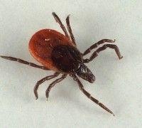 Кожные паразитарные болезни животных