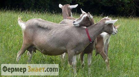 Sve ono dobro pasmina koza toggenburgskoy