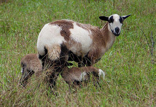 Koza i koza