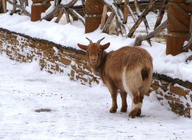 Козы зимой: содержание и кормление