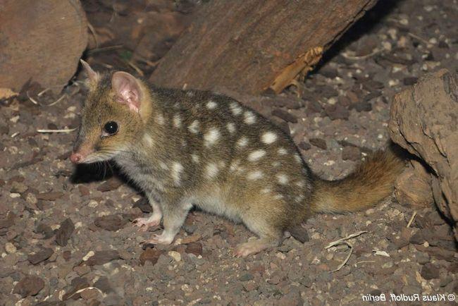 pisică marsupială (Dasyurus viverrinus).