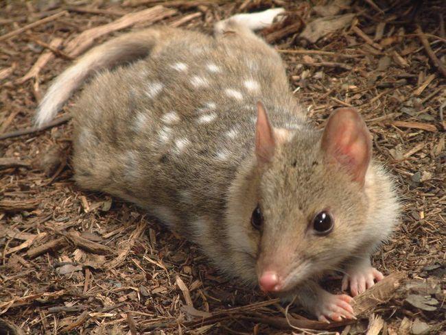 Animalul se găsește în Australia.