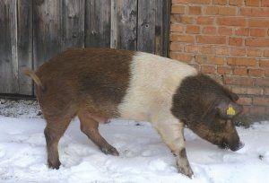 Red Belt rase svinja