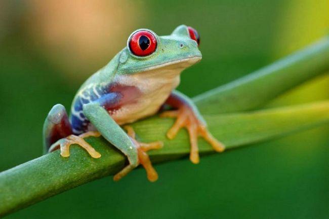 Krasnoglazov žaba (Agalychnis callidrya).