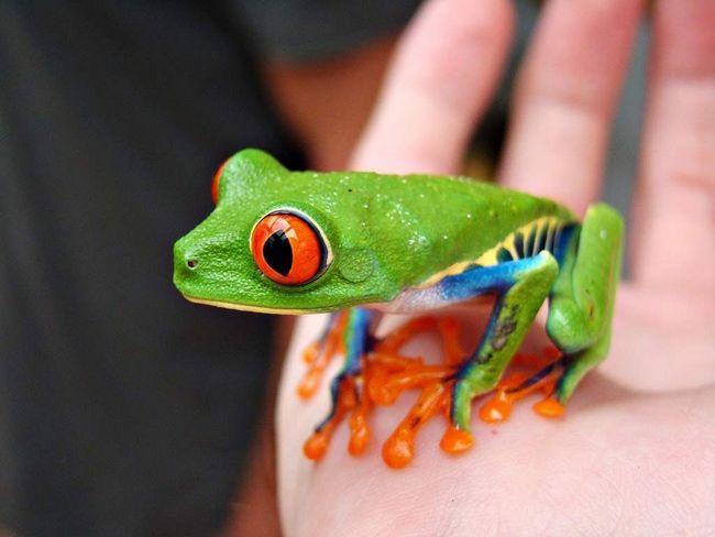 U stvari, crveno-eyed tree žabe - ne-otrovne žabe.
