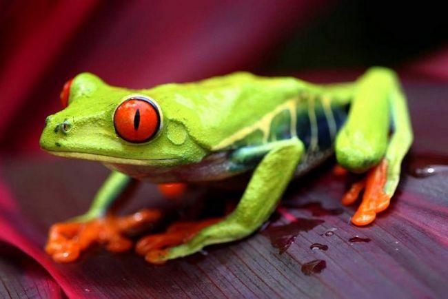 Ženski žaba polaže jaja jedno po jedno, pričvršćivanje ih na listovima koji visi preko vode.