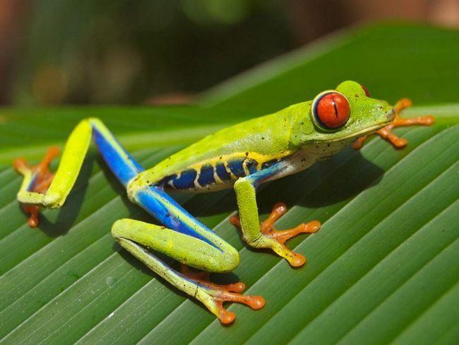 Crvenih očiju žaba živi u nizinskim šumama, ali ponekad u podnožju na nadmorskoj visini od više od 1 km.