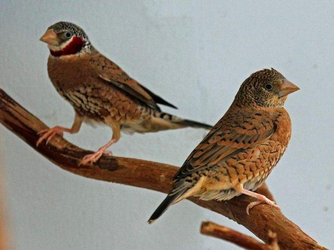 Ptica nastanjuje suho savane, prekriven bagrema, ne kreće naprijed u polu-pustinje regijama.