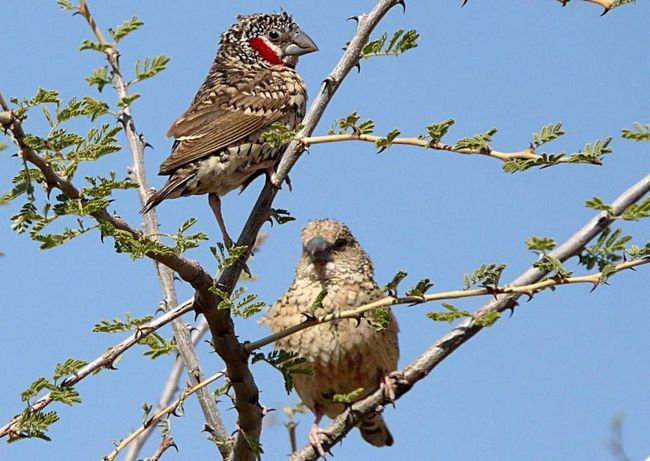 Cut-grlo Finch polaže 4-6 jaja na stablu šupljinama.