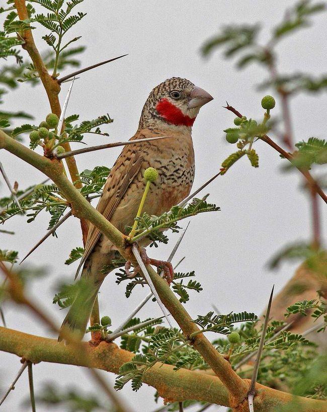 Da bi se održao cut-grlo Finch potrebne velike kaveze ili kućišta za stvaranje udoban uvjete za pticu.