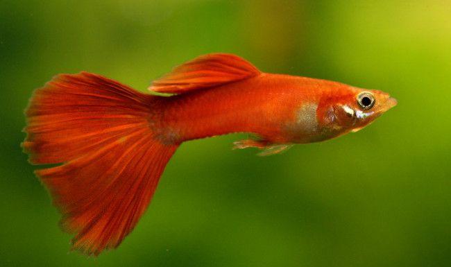 Crvena riba.