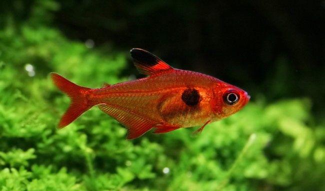 Ornatus crveno.