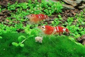 červený krystal krevety