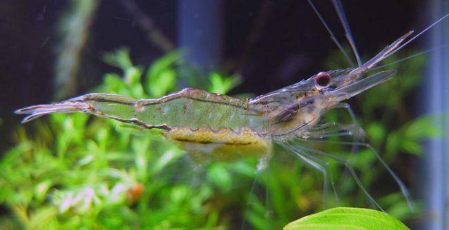 Shrimp (Caridea).