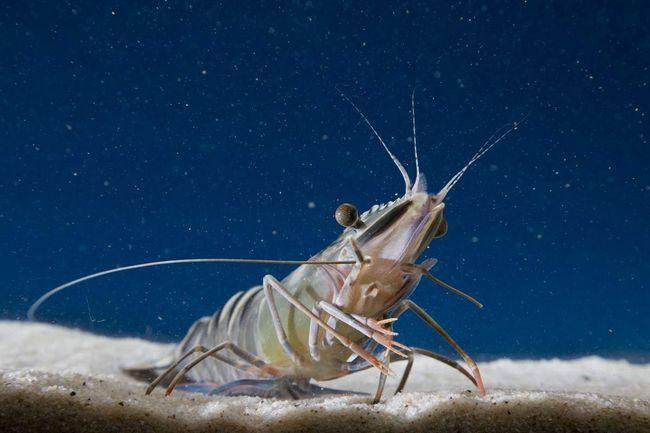 Škampi su široko rasprostranjeni u morima.