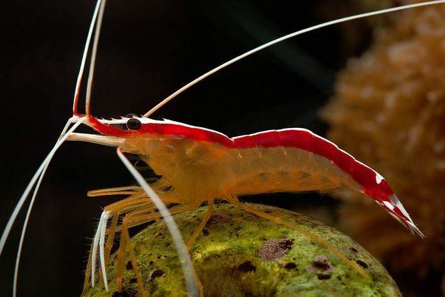 Škampi ima neobičan izgled.