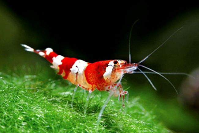 koral škampi