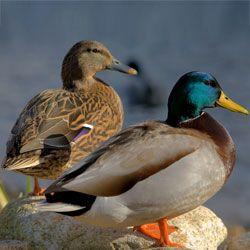 Кряква - самая большая дикая утка, ареал обитания, питание, размножение