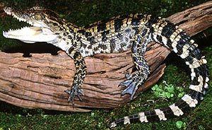krokodili fotografija