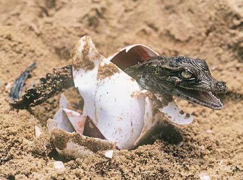 krokodil slike