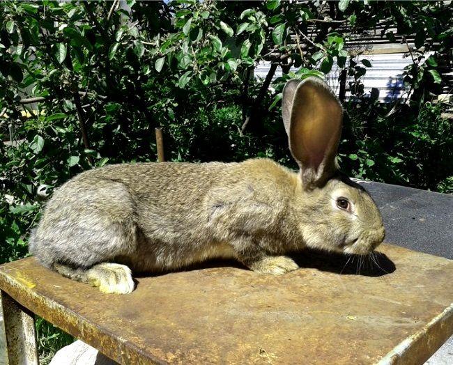 Zečevi uzgajati Flandres