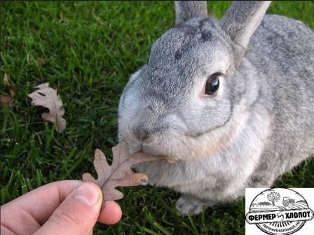Sovietsky Chinchilla králik