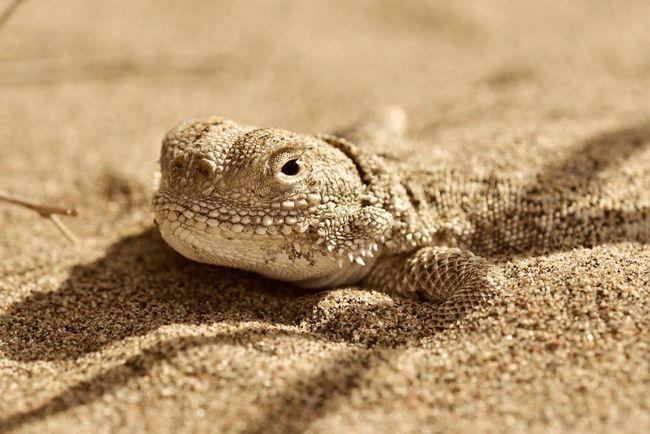 V prípade nebezpečenstva alebo v noci za celého radu živočíšnych druhov, ktoré sa vyznačujú druhom ponorenie do piesku.
