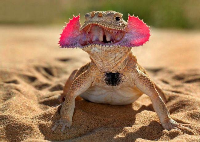 Toad prednosť otvorenej púštnej krajiny.