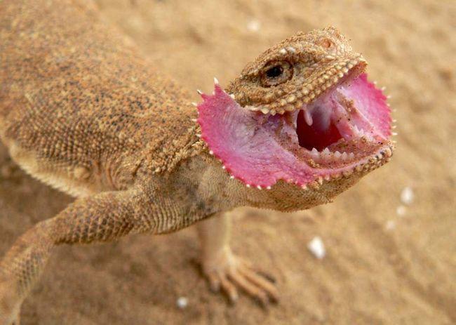 Spolu s jašterice druh Eremias tvorí jadro Palearctic fauny púšte.
