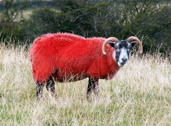 Multi-boji ovaca