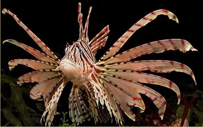 Red lionfish (Morski paun).