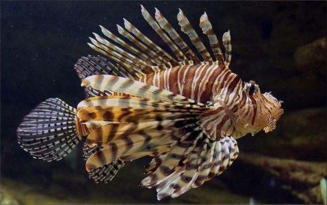 Kontakt riba lionfish je izuzetno opasan, jer to podvodni stanovnik ima otrovne bodlje.
