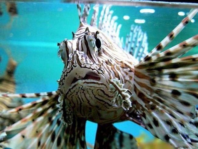 Lionfish plivati u lov uglavnom u sumrak.