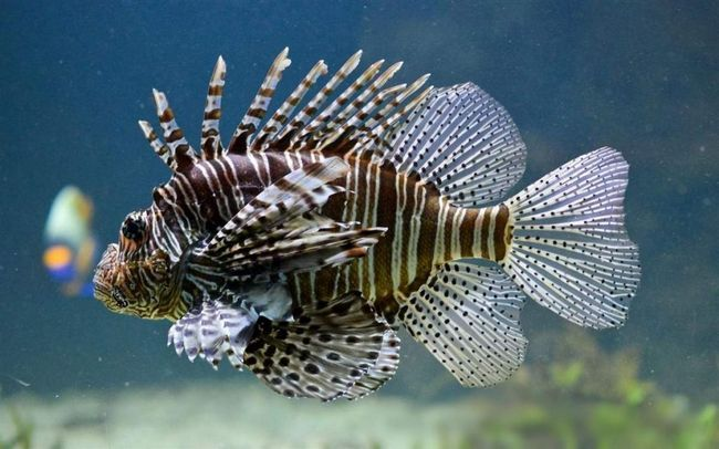Lionfish su ciljane vrste posebno - Spearfishing, kao vrijednosti zbog tendera i ukusno meso.