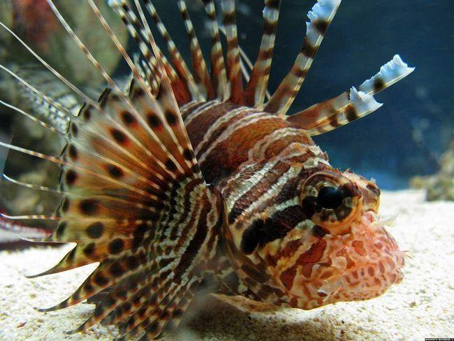 Krylatok se može držati u kući u velikom, ne svetli akvarijum.
