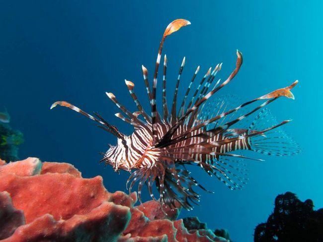 U lionfish ishrana treba da sadrži proizvode sa kalcijumom i karotena za ribe su zdrave kosti i svijetle boje. To je zabranjeno hranjenje zlatne ribice.