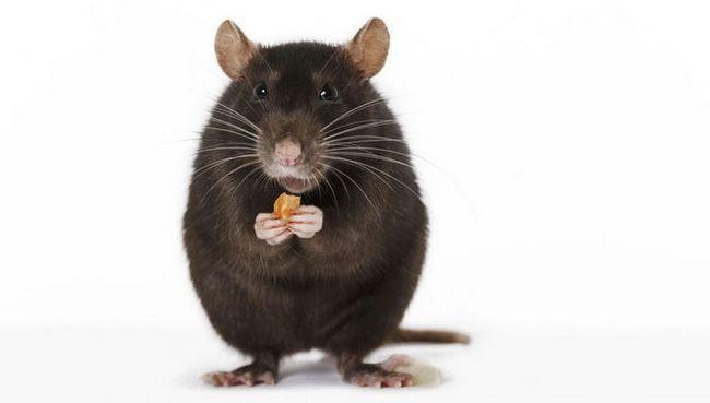 Крысы используют инструменты, чтобы добраться до лакомства