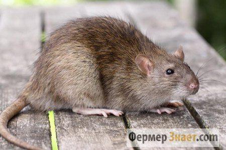 Крысы в курятнике: методы борьбы с грызунами