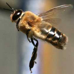 Кто такие трутни, какую роль исполняют в пчелиной семье