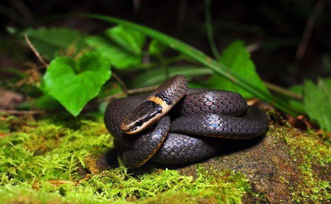 Prsten-necked zmija (Diadophis punctatus).