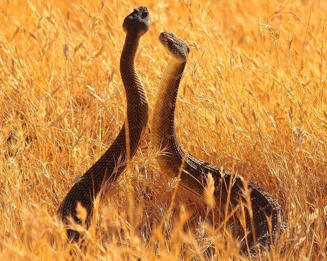 Ples parenja zmija.