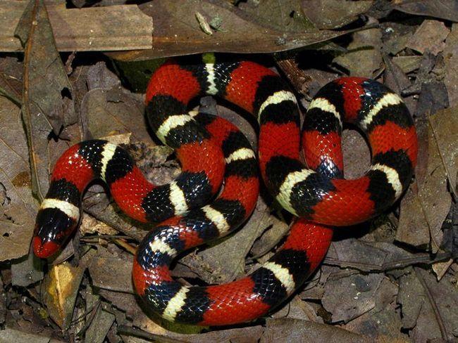 Mlijeka zmija (Lampropeltis Triangulum elapsoides).