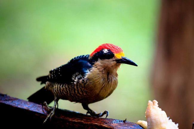 В высиживании птенцов принимают участие оба родителя.