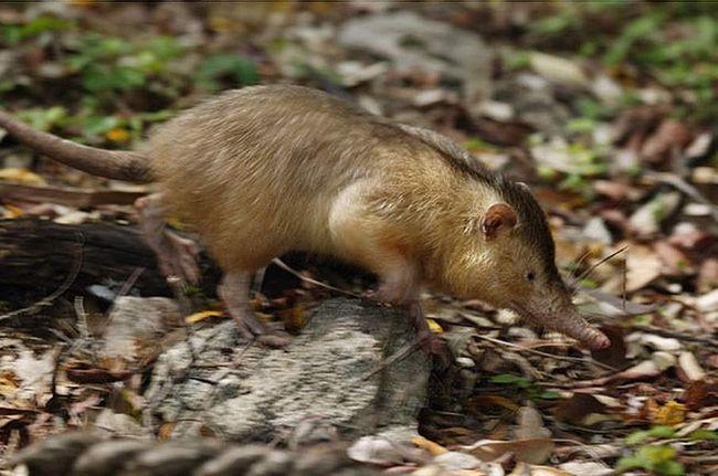 Тело кубинского щелезуба покрыто жёсткой и длинной, но редкой шерстью.