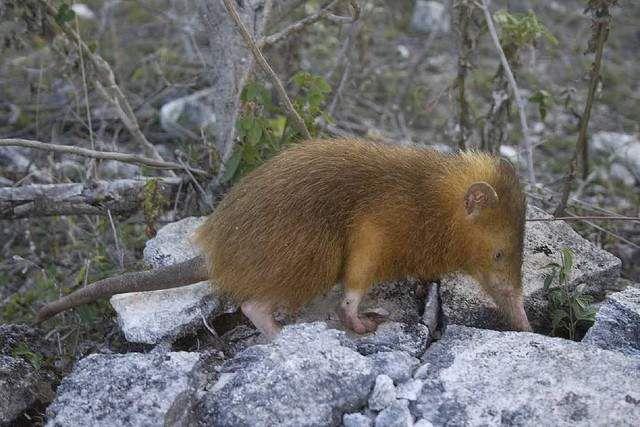 Кубинский щелезуб - легкая добыча даже для самых ленивых хищников.