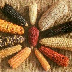 Кукуруза как культура