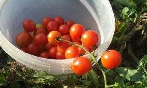 Культивирование наилучших видов помидор в теплице
