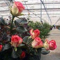 Kulture ruže na niskim volumen podloge